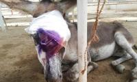 Another donkey brutally beaten in Karachi handed to ACF animal rescue