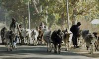 Indian Muslim transporting cows dies after mob attack