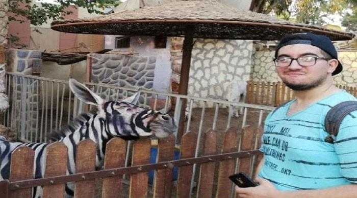 Egyptian zoo paints donkey black and white to pass it off as a zebra
