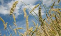 Scientists detail full genome of wheat for first time