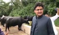 PM House buffaloes to be auctioned on September 27