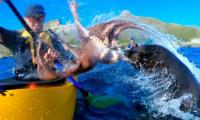 Viral video: Watch a fur seal slaps kayaker with octopus