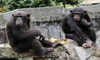 Chimpanzees react faster to cooperate than make selfish choices