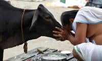 India voters hoof out cow minister in state elections