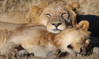 Train kills three endangered lions in India