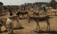 PML-N praises PTI government over increase in donkey population