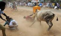 Dozens injured on day one of Indian bull-wrestling festival