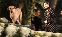 Dog steals Sidharth Malhotra's spotlight during ramp walk