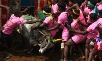Two gored to death at India bull-wrestling festival