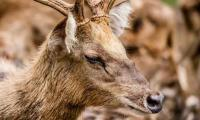 What is 'Zombie' deer disease or CWD and can it spread to humans?