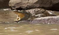 Crocodile mauls Indonesian to death in Malaysia