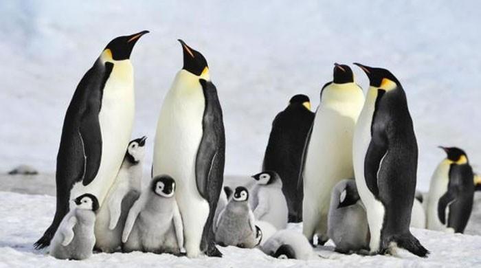 Antarctic penguins suffer ´catastrophic´ breeding failure