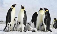 Antarctic penguins suffer ´catastrophic´ breeding failure