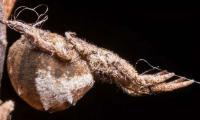 Catapulting spider winds up web to launch at prey: study