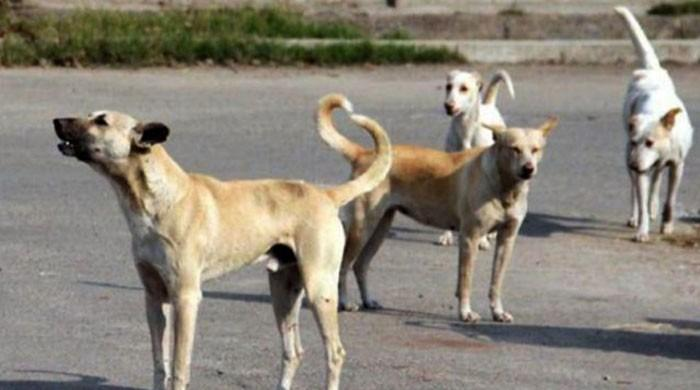 Young boy from Thatta becomes 11th victim of Rabies Encephalitis as dog bite cases on rise in Sindh