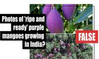 Fact-check: Is this a photo of 'ripe and ready' purple mangoes growing in India?