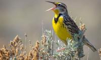 North American bird population fell by quarter over 50 years: study