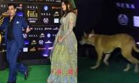 Salman Khan followed by stray dog at IIFA Award 2019: video goes viral