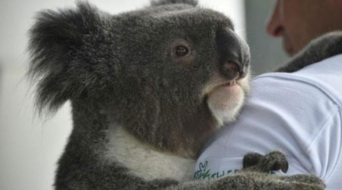 'Koala AIDS' research reveals genome evolution in action