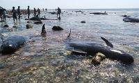 Seven stranded whales found dead in Indonesia