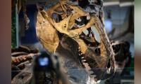Dwarf T-rex dinosaurs probably did not exist: study