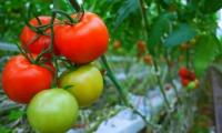 First case of ruinous tomato virus confirmed in France