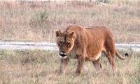 Boy found dead inside lion's cage at Safari Park Lahore