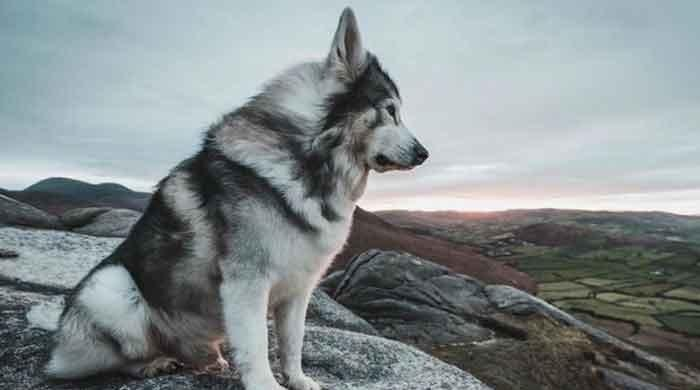 'Game of Thrones' dire wolf dog dies of cancer
