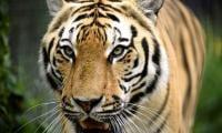 Tiger contracts coronavirus at US zoo