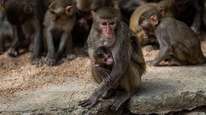 Monkeys develop COVID-19 immunity after infection, new studies show