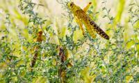 Locust attacks wreak havoc on crops across Pakistan