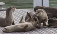 Singapore otters´ popping up in unexpected places during coronavirus lockdown