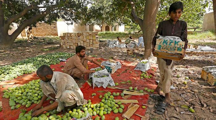 Export gloom sours Pakistan's prized mango season