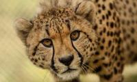 Pakistani owner of cheetah approaches court to retrieve possession of pet animal