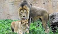 Karachi's Gulshan-e-Hadeed residents panic as lions roam freely in compound