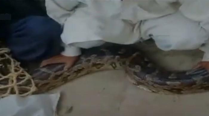 Muzaffargarh villagers capture a 20-foot-tall scary dragon