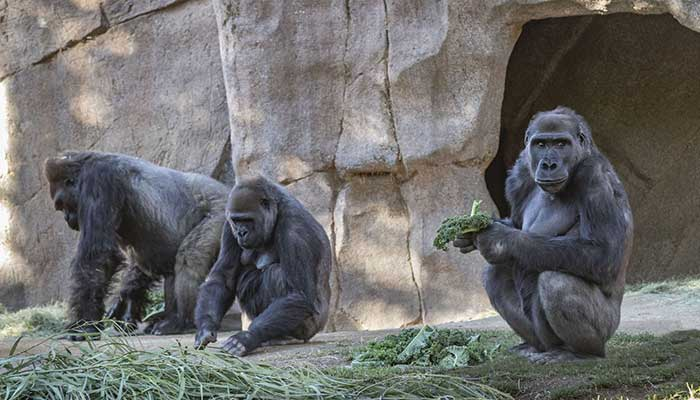 San Diego Zoo reports coronavirus cases in two gorillas thumbnail
