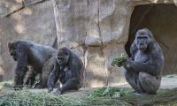 San Diego Zoo reports coronavirus cases in two gorillas