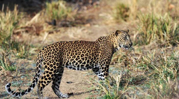 Residents of Tharparkar killed the leopard and injured eight others