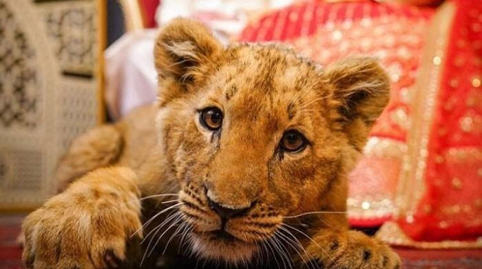 The video of the couple using 'Lion Cubs' at the wedding shoot is heartbreaking