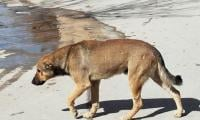 In a month, more than 400 dog-bite incidents reported in Rawalpindi